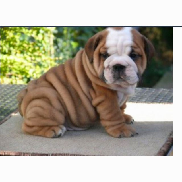 I Will Have A Wrinkly Puppy Bulldog Puppies English Bulldog