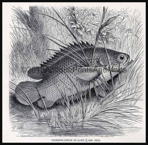 Antique Print Climbing Perch Fish Or By Antiqueprintsandmaps 10 00 Down Boy Antique Prints Fish Art