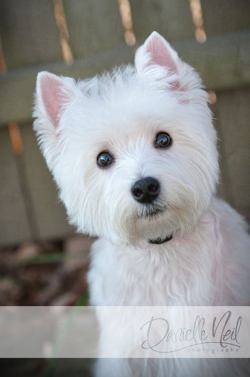 Pin by Rachel Winans Musil on Westie Love White terrier