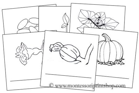 Pumpkin Life Cycle Cards: Montessori Parts of a Pumpkin