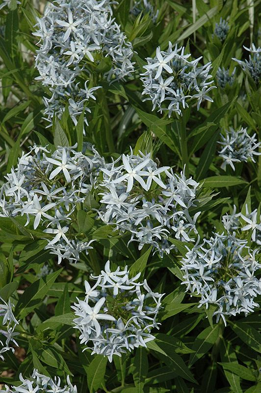 blue star flower amsonia tabernaemontana at stein gardens gifts - Steins Garden And Gifts