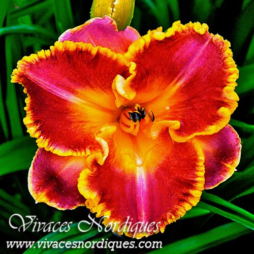 playa de hornos jaimes 2015 daylilies vivaces nordiques pinterest planter des fleurs. Black Bedroom Furniture Sets. Home Design Ideas
