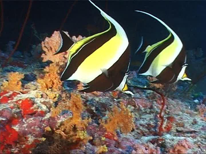 395622145-halfterfisch-taucher-tropischer-fisch-korallenriff.jpg (720×540)