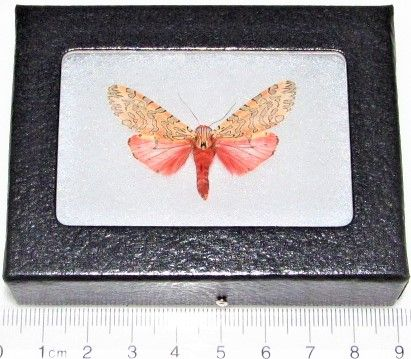 framed Arachnis citra pink orange tiger moth arctiidae Utah USA #utahusa