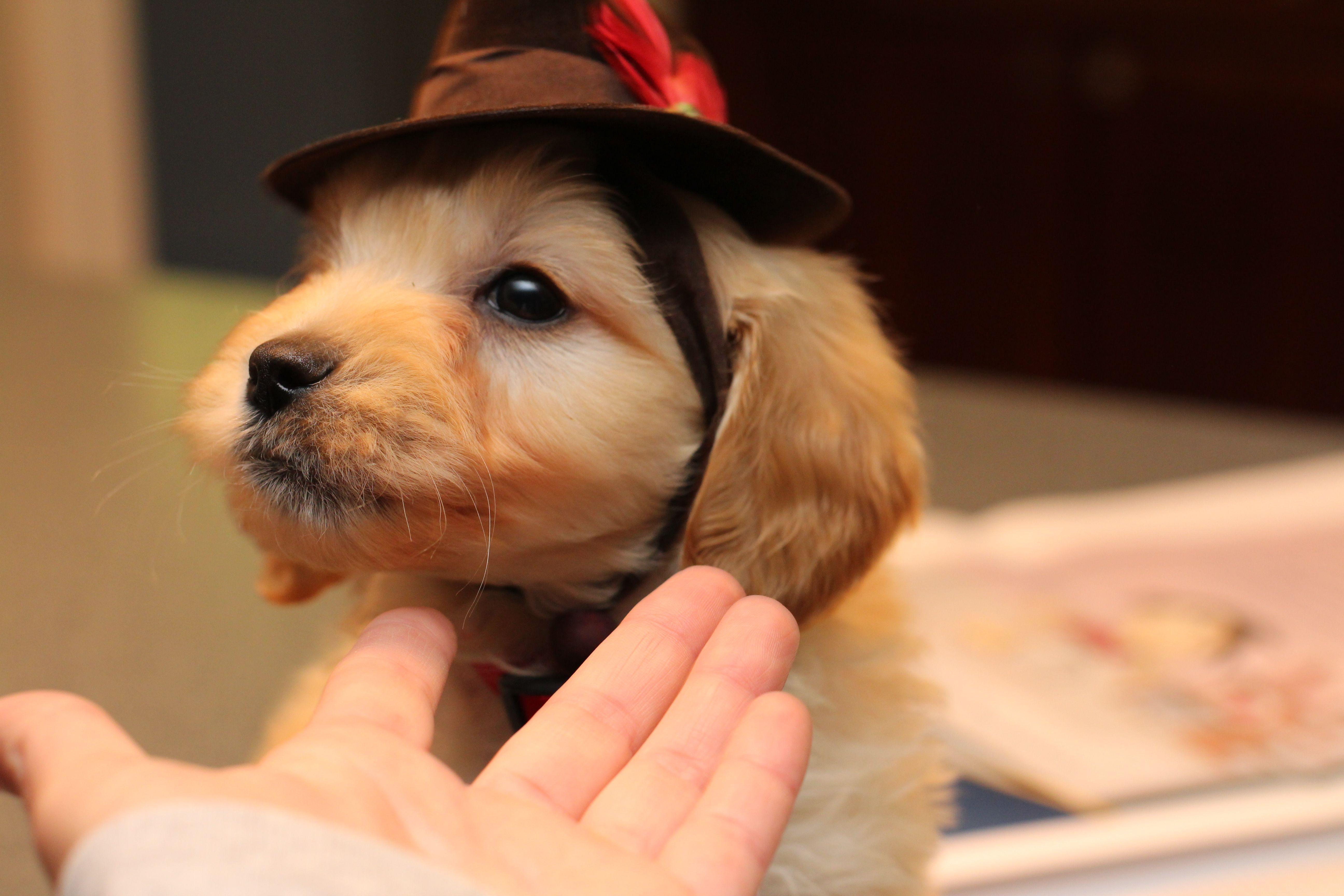 Mini Goldendoodle Puppy At 8 Weeks Old Red Collar Boy Of
