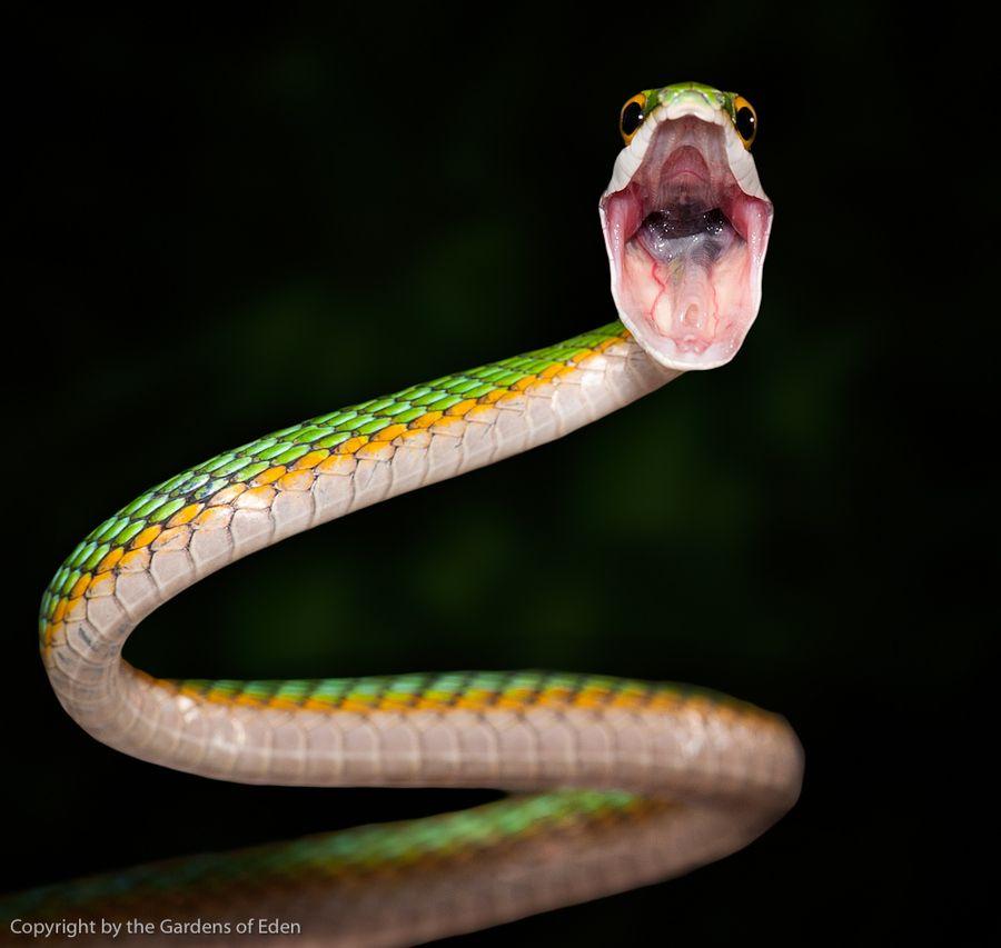 """""""Leptophis ahaetulla, Parrot Snake"""" by Michael Kern, copyright Gardens of Eden"""