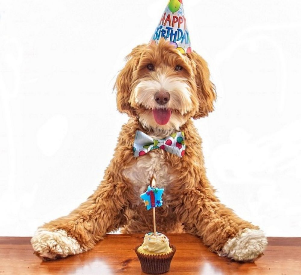 Labradoodle Happy Birthday Happy Birthday Animals Funny Happy Birthday Animals Happy Birthday Dog