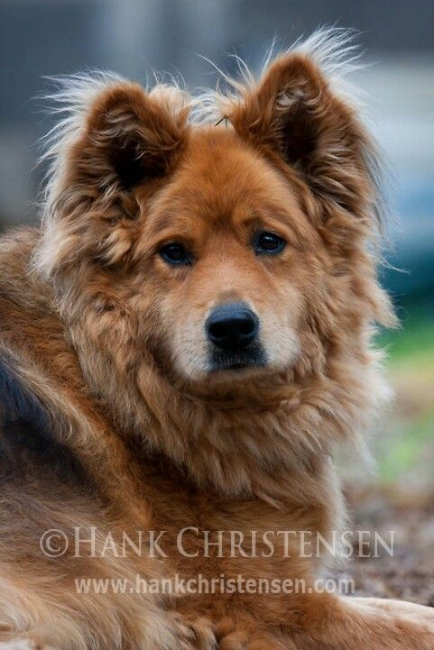 German Sheperd Mix Chow The First Dog I Was Ever Around Was This