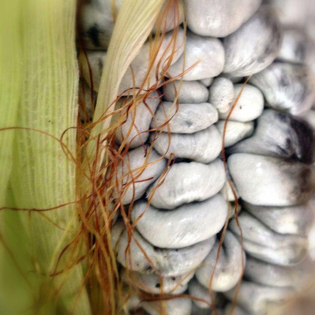 Cuitlacoche o huitlacoche, especie de hongo comestible y nutritivo del Maíz,  usado en la gastronomía azteca.