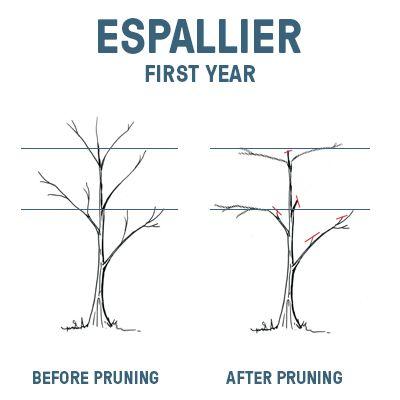 To Prune Or Not To Prune Pruning Fruit Trees Citrus Trees Fruit Trees