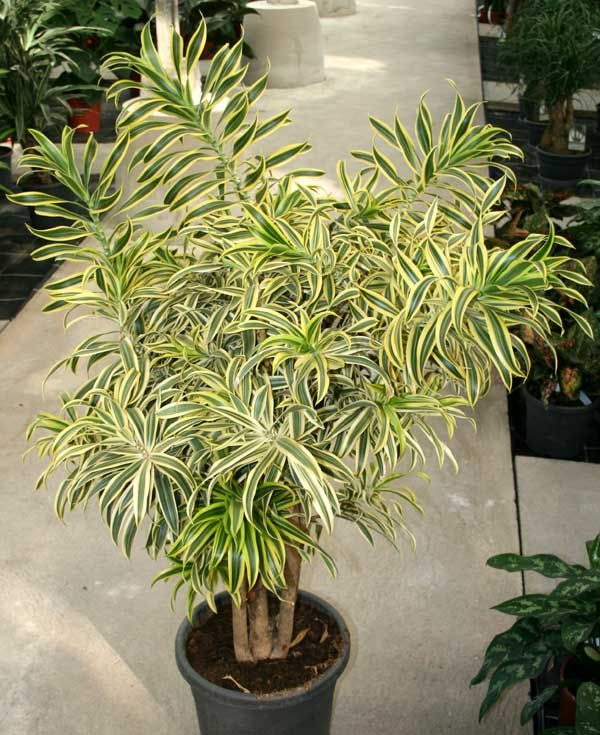 dracaena reflexa song of india plant things group 2 pinterest plants indoor plants and. Black Bedroom Furniture Sets. Home Design Ideas