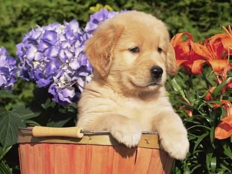 Photographic Print Golden Retriever Puppy In Bucket Canis