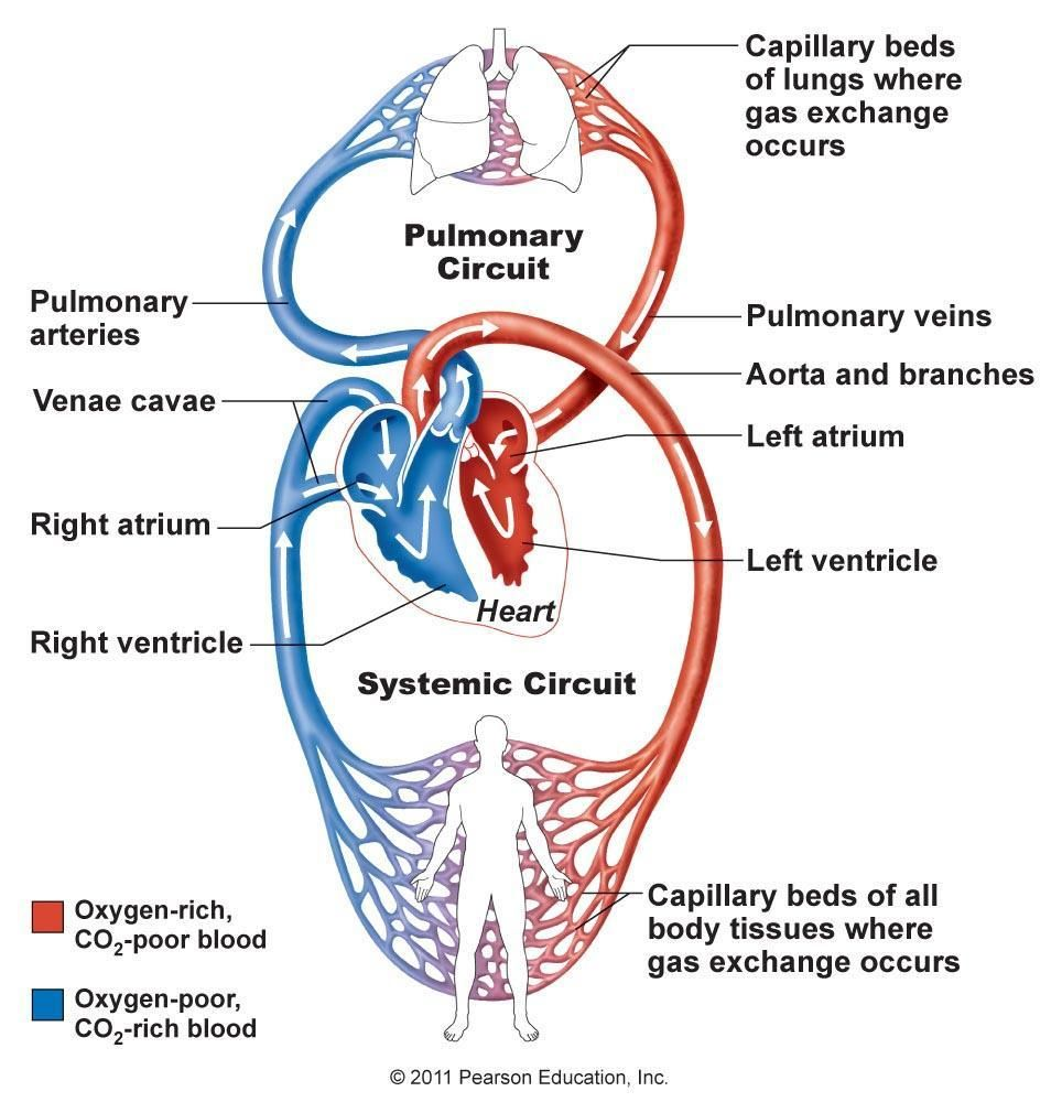 Sixth grade circulatory system bio pinterest circulatory system the blood flow through the heart and to the body is responsible for providing your body cells with oxygen and nutrients learn how pulmonary circulation nvjuhfo Gallery