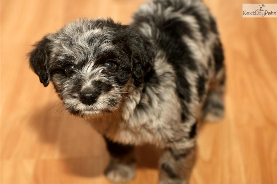 Dixie Aussiedoodle Puppy For Sale Near Richmond Virginia