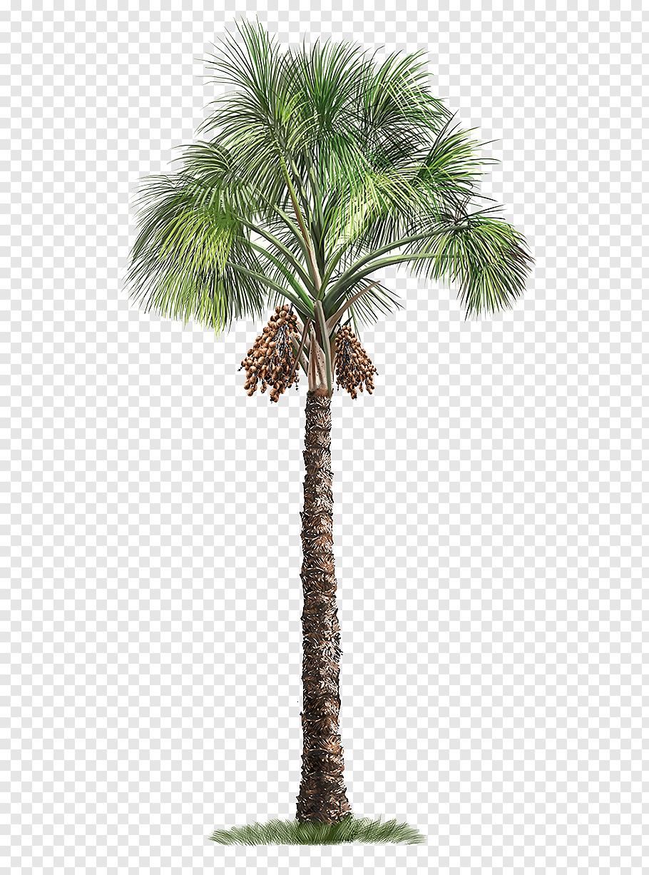 Mauritia Flexuosa Arecaceae Tree Palm Tree Green Palm Tree Free Png Palm Tree Art Palm Tree Artwork Palm Tree Png