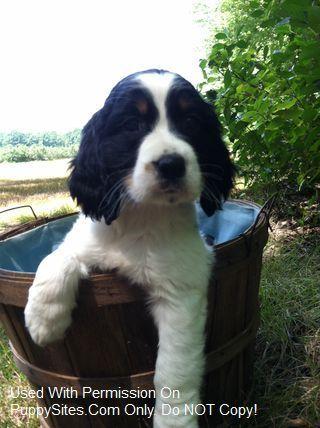 English Springer Spaniel Dog Puppy Website Listings At Puppysites Com Springer Spaniel Spaniel Breeds Spaniel Dog