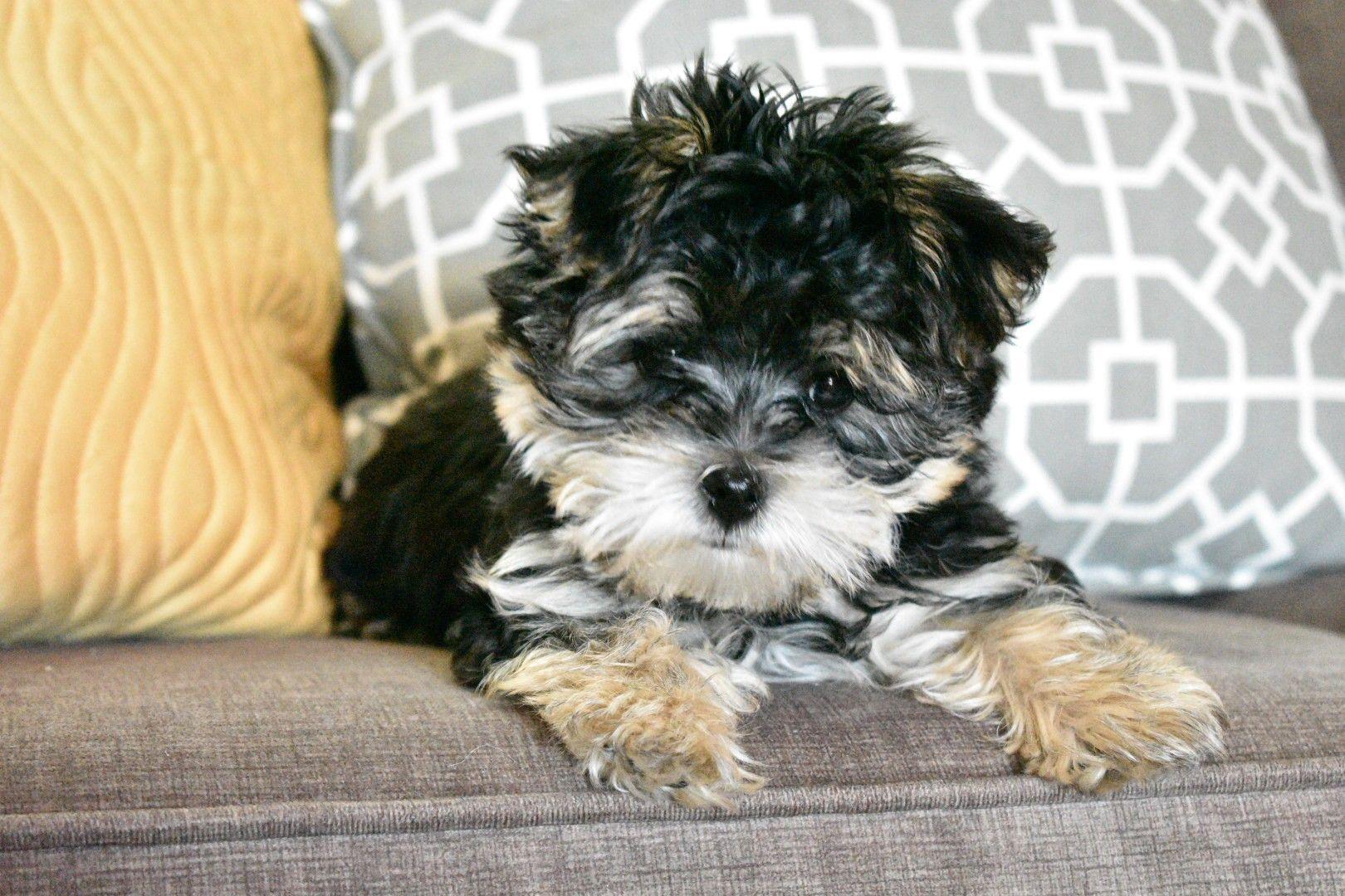Morkie Yorktese Puppy Puppies Morkie Animals