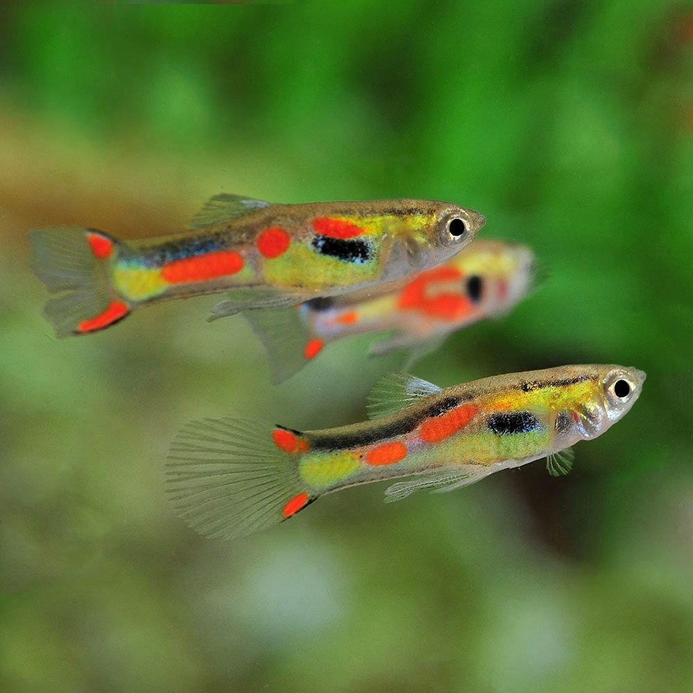 The endler s livebearer is a great fish to buy for a for Fish tank fish types