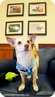 Worcester Ma Chihuahua Shiba Inu Mix Meet Jasper A Dog For