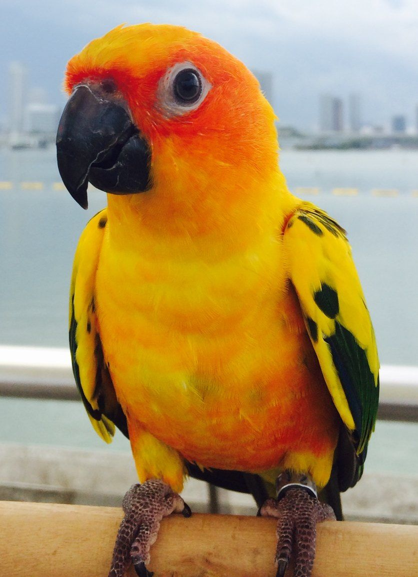 Name Of Pet Jerry Breed Sun Conure Parrot Color Yellow