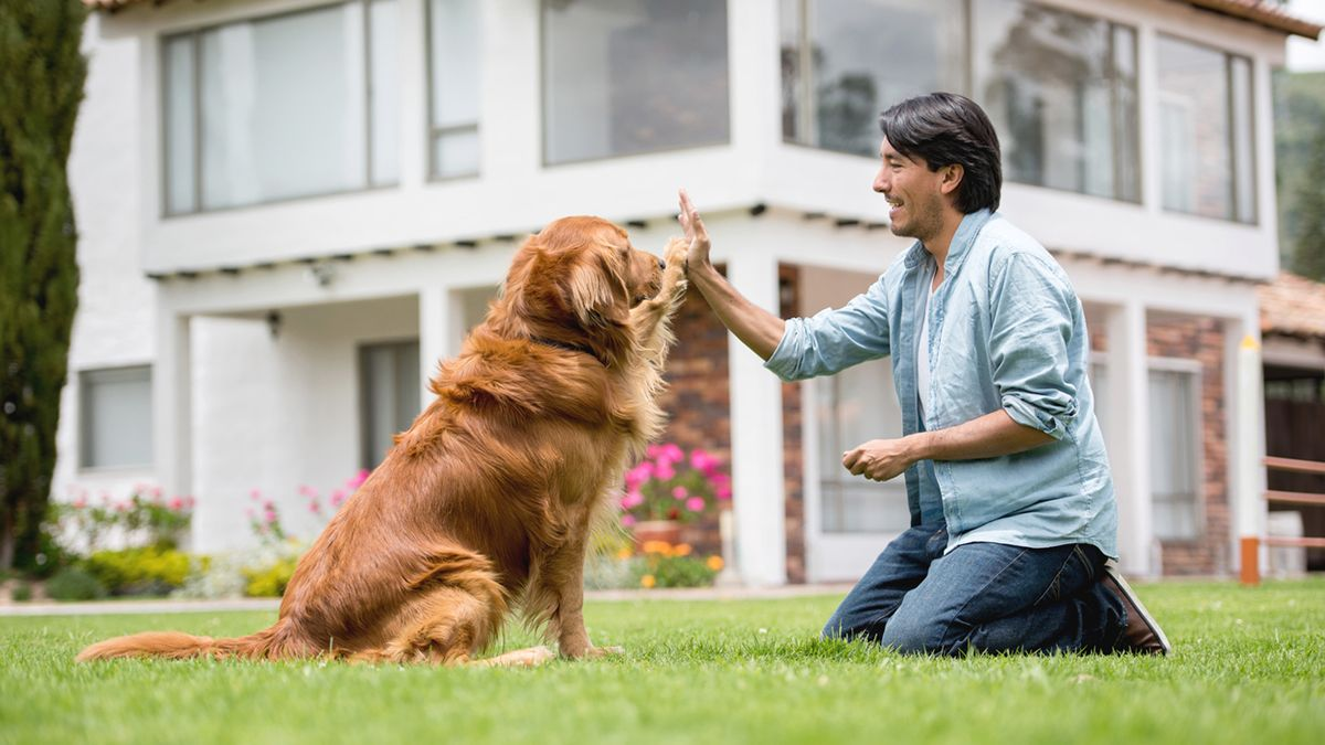 how to train a golden retriever puppy to walk on a leash