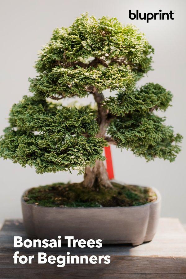 Bonsai Trees For Beginners Our Bonsai Tree Tutorial Will Help You Hone Your Bonsai Skills You Ll Learn How T Indoor Bonsai Tree Bonsai Tree Types Bonzai Tree
