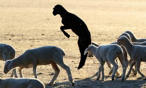 A ovelha da família
