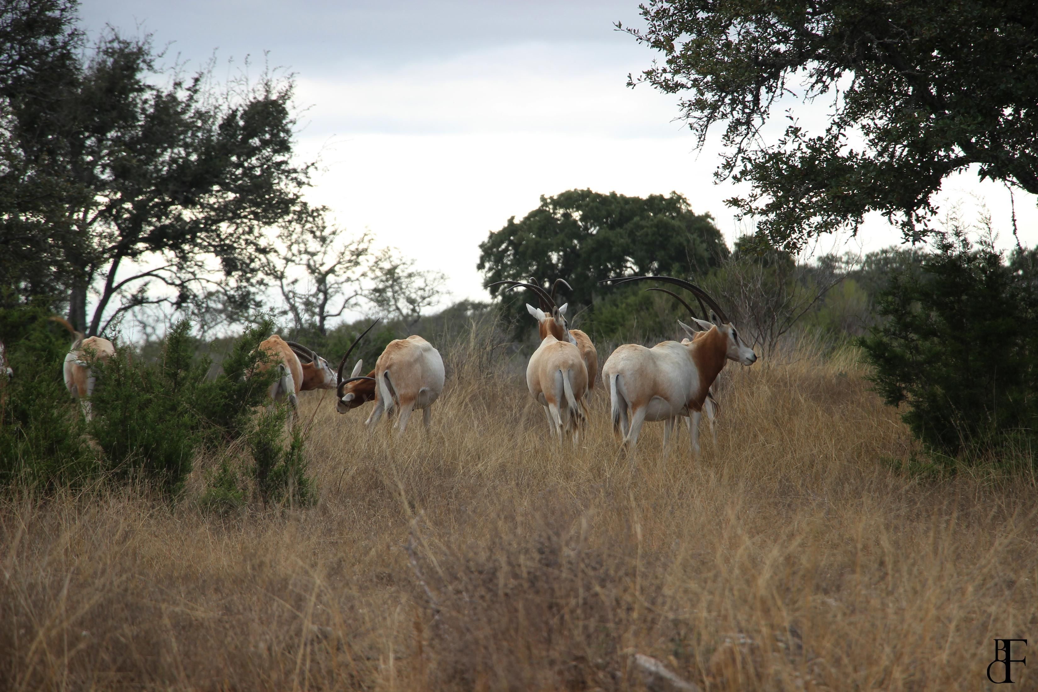 Scimitar Oryx in the Hill Country Texas [5184x3456] [OC]