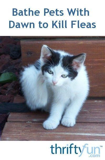Bathe Pets With Dawn to Kill Fleas Fleas on kittens
