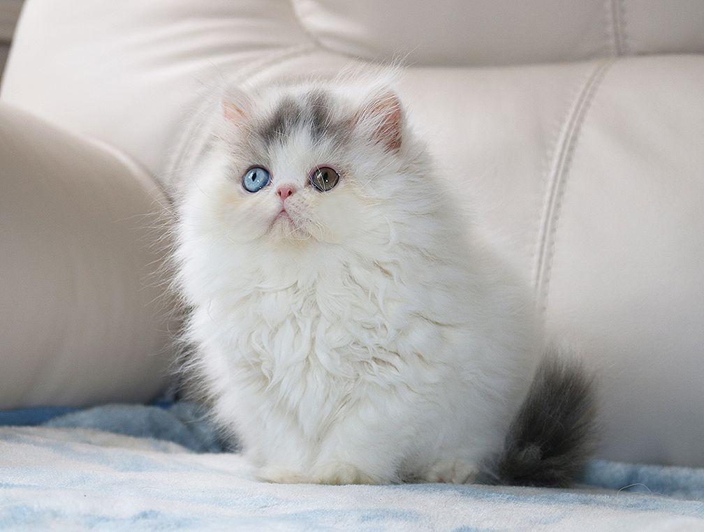 Alfenloch Persian Kittens Ontario Canada And Himalayan Kittens Ontario Canada 2018 Chocolate Kittens Bi Col Himalayan Kitten Persian Kittens Persian Cat