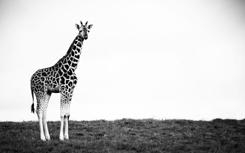 Giraffe Black And White Wallpaperswebs