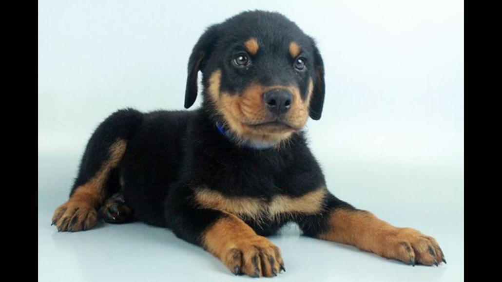 Rottweiler puppy Rottweiler puppies, Puppies, Dog breeds