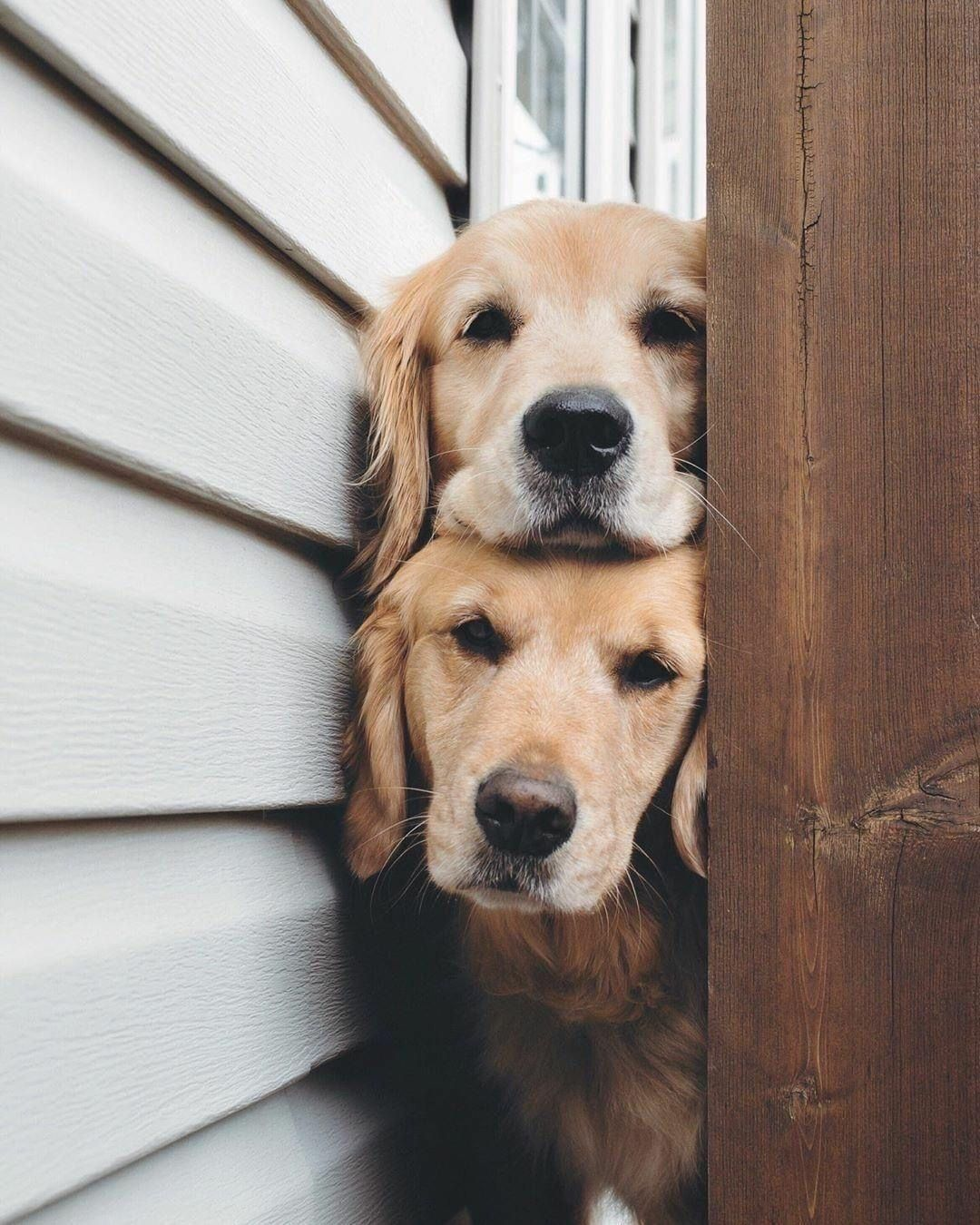 Pin By Leslie Batenhorst On Golden Retrievers In 2020 Dogs Cute Dogs Doggy