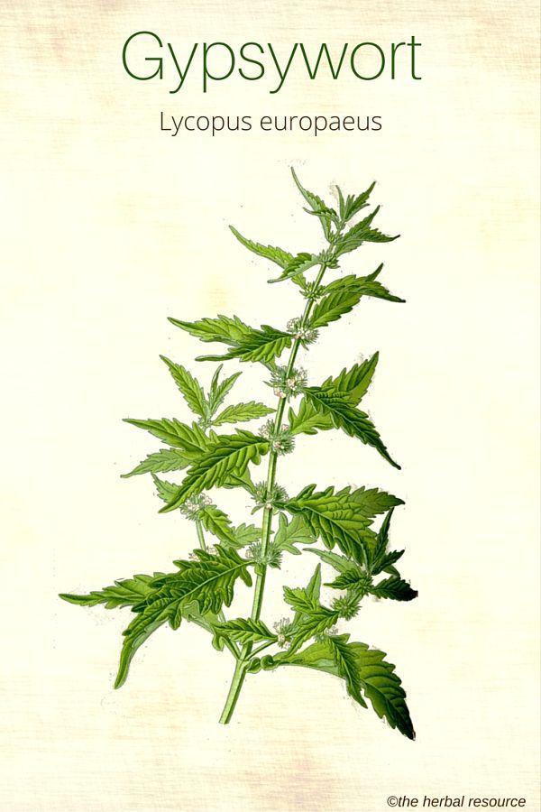 Bugleweed – Health Benefits and Side Effects | Herbalism ...