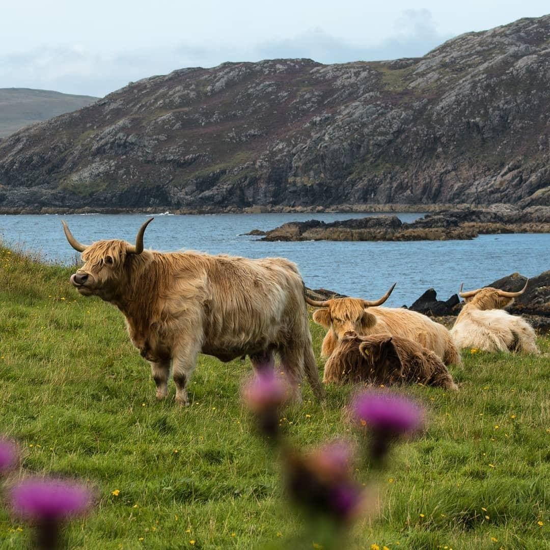 Pin van Paul Lievens op Highland Cow