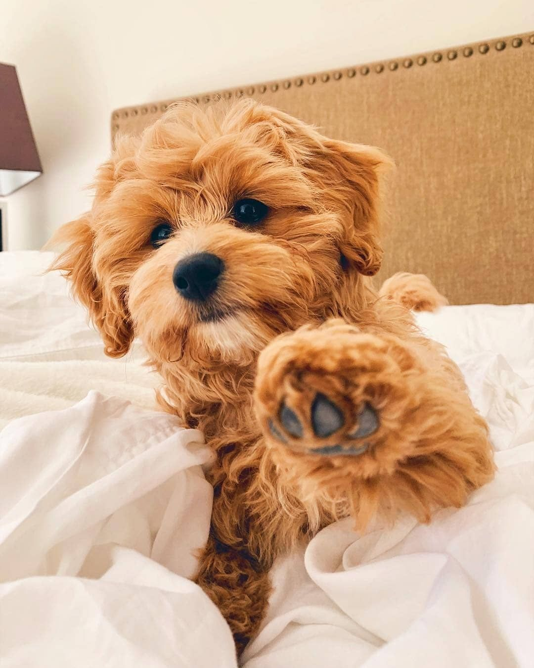 Cavapoo Puppies Information, Characteristics, Facts