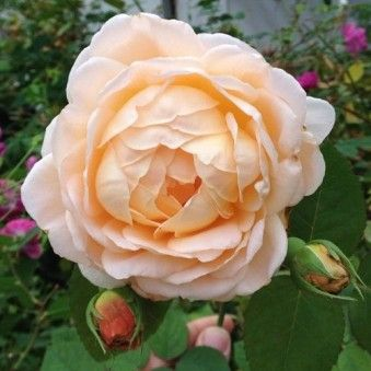 Tamora Austamora 3 Foot English Rose Bush Flower Farm Flower Trellis Rose