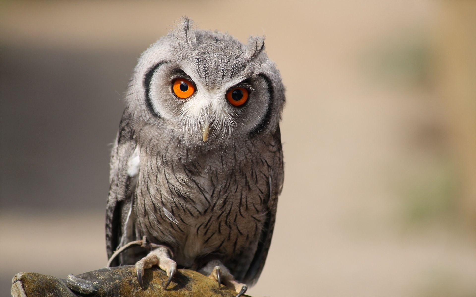 eurasian scops owl 1920×1200 Animals HD Wallpapers