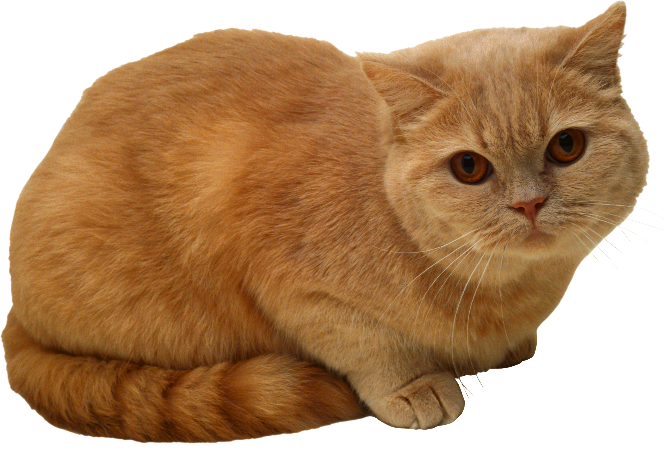 Sitting Cat Png Png Image Cat Sitting Cats Cute Cat