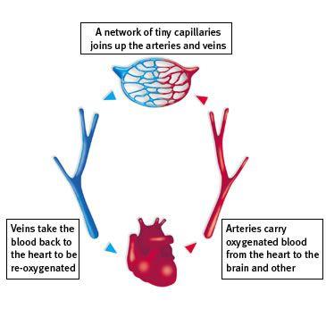 Heart Diagram   Heart diagram, Arteries and veins, Film red