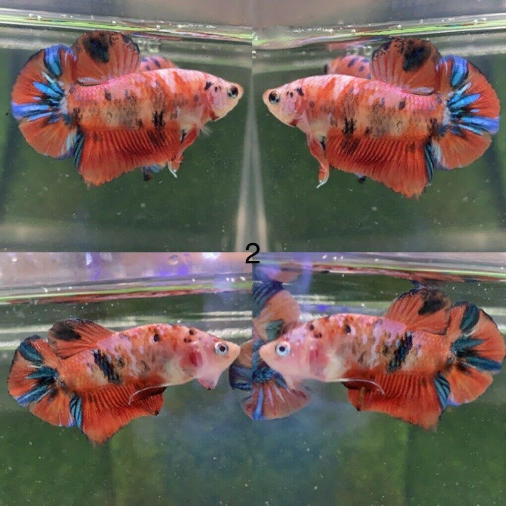 Betta Live Fish Male Nemo Halfmoon Please Read Description Befone Buy In 2020 Betta Fish Betta Live Fish