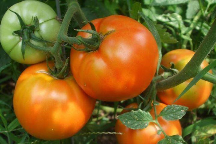 чем подкормить помидоры для цветения в теплице