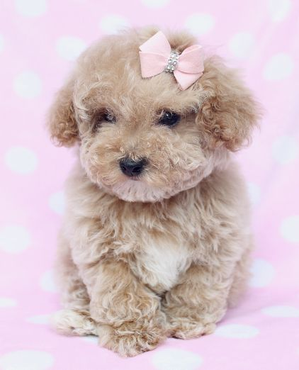Red Teacup Poodle Puppy Toy poodle puppies on