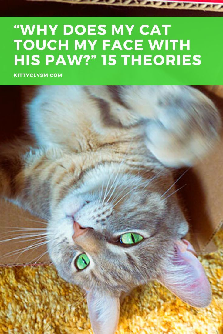 """""""Why Does My Cat Touch My Face with His Paw?"""" 15 Theories"""