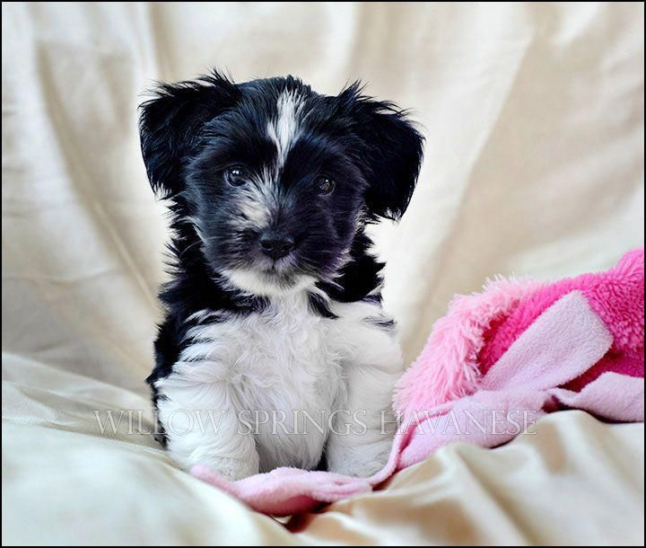 havanese puppies for adoption in nc