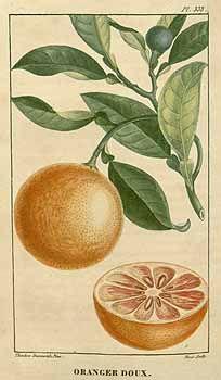 91485 Citrus sinensis (L.) Osbeck / Descourtilz, M.E., Flore médicale des Antilles, vol. 5: t. 338 (1827) [J.T. Descourtilz]