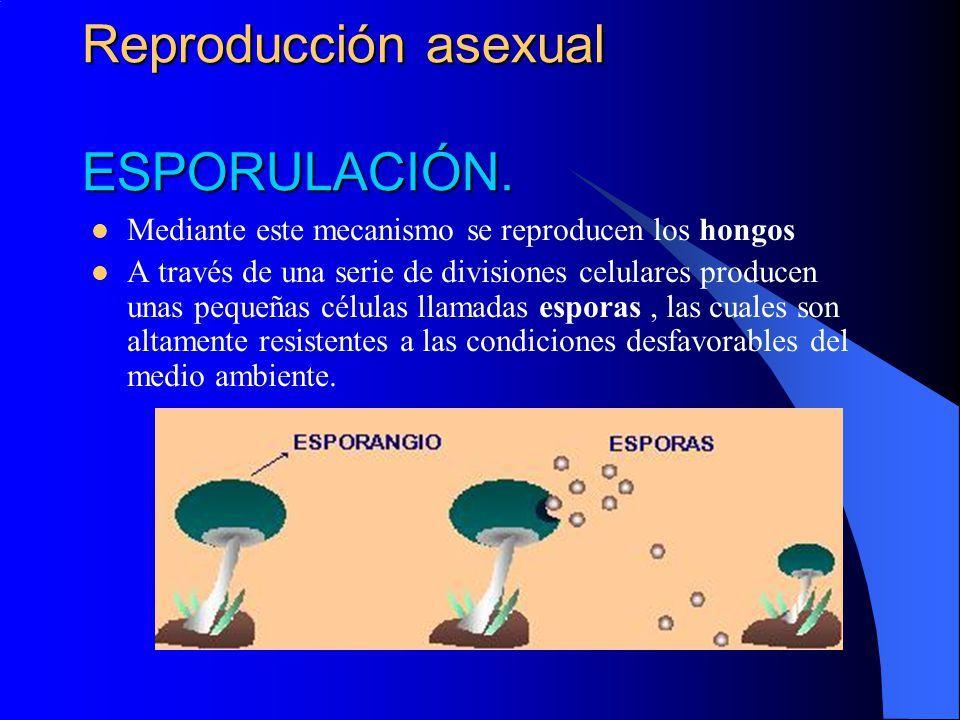 Que es fragmentation reproduccion asexual de la