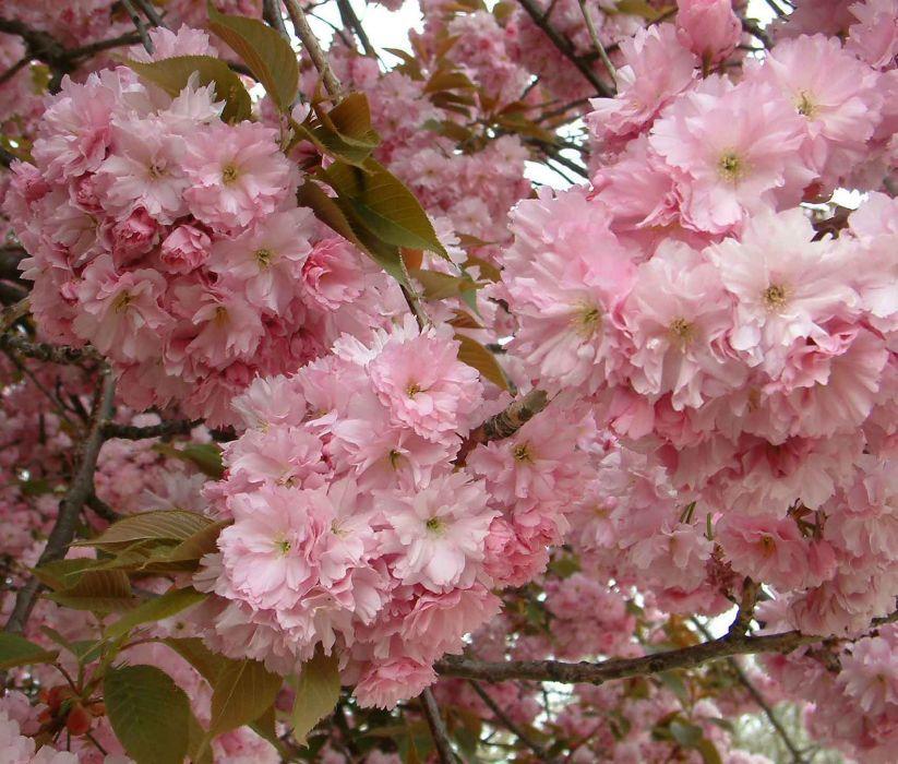 Prunus Serrulata Kwanzan Flowering Cherry Tree Japanese Cherry Tree Japanese Flowering Cherry