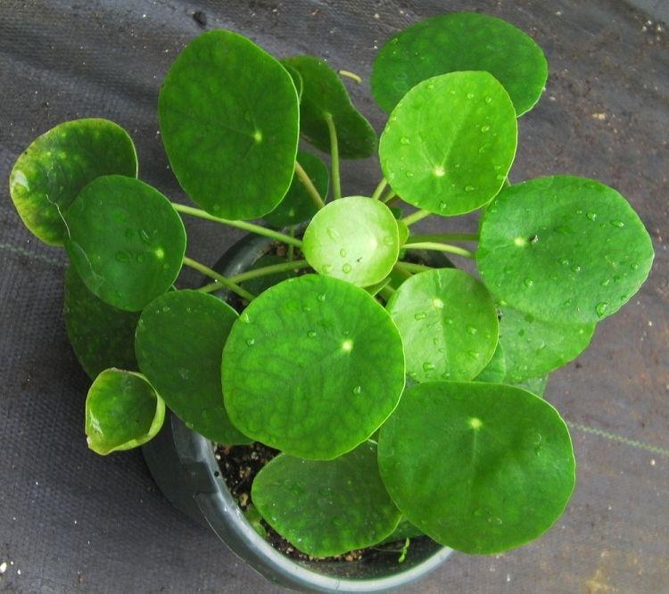 Pilea peperomiodes  a lily pad shaped succulent ยาสมุนไพรบ้านหมอจ๋าย รับผลิต  ยาสมุนไพรจำหน่าย ขายปลีก และขายส่ง มีลายชนิดตามต้องการ มี อ ย ถูกตัอง ราคาขวดละ  150 บาท พร้อมเครื่องสำอางค์ อาหารเสริม สบู่ 70 ชนิด เช่นยาลดความอ้วน ยาแก้ปวดเมื่อย ยาสตรี ปวดแระจำเดือน ตกขาว มีกลิ่น คันภายใน ยาน้ำเหลือง แก้ภูมิแพ้คันตามร่างกาย โรคเอ็ด โรคมะเร็ง ยาเพิ่มพลัง ยาเบาหวาน มะเร็งตับ  โทรมาปรึกษาได้ท่านต่องการแบบไหนเราจัดให้ได้ทุกอย่าง ที่ 0909 419852 028107832 0868030656 www.patsiri.com