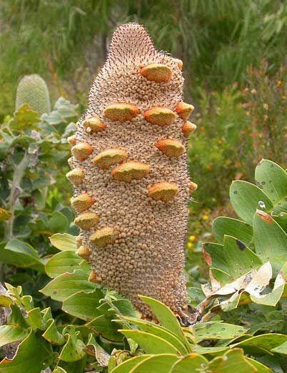 "Banksia grandis ""Giant Banksia"" - Buy Online at Annie's Annuals & Perennials"